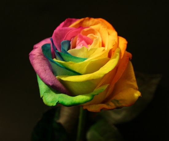 Rainbow roses are for real out loud93 for What are rainbow roses