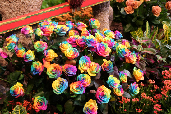 Rainbow roses are for real out loud93 for How much are rainbow roses